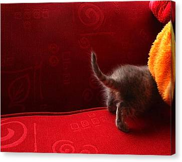 The Absent-minded Kitten Canvas Print by Barbara  White