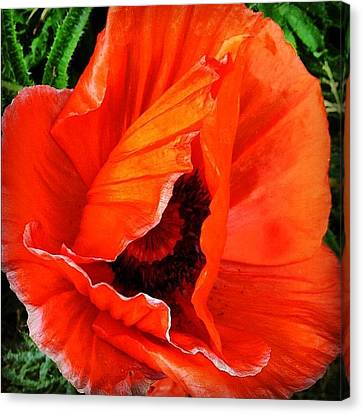 Igaddict Canvas Print - The Beautiful Icelandic Poppy by Christopher Campbell