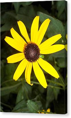 Canvas Print featuring the photograph The Beauty Of A Single Daisy by Shawn Hughes