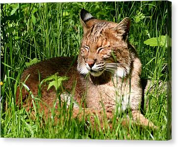 Canvas Print featuring the photograph The Bobcat's Afternoon Nap by Laurel Talabere