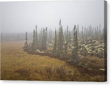 The Boreal Forest On A Foggy Day Canvas Print by Taylor S. Kennedy