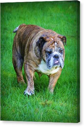 Canvas Print featuring the photograph The Bulldog Shuffle by Jeanette C Landstrom