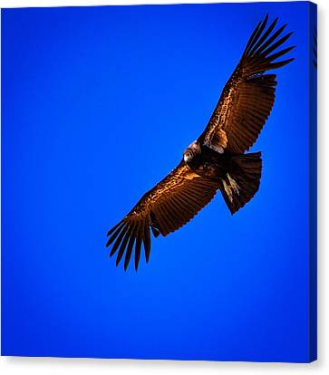 Condor Canvas Print - The California Condor by David Patterson