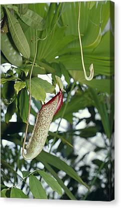 The Carnivorous Pitcher Plant Canvas Print