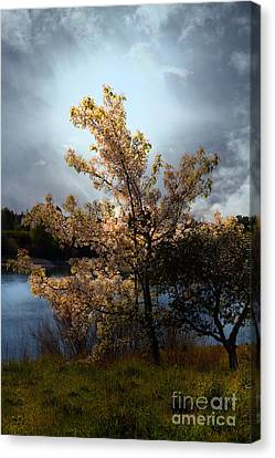 The Cherry Blossom Tree . 7d12703 Canvas Print by Wingsdomain Art and Photography