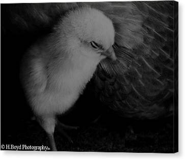 The Chick Canvas Print by Heather  Boyd