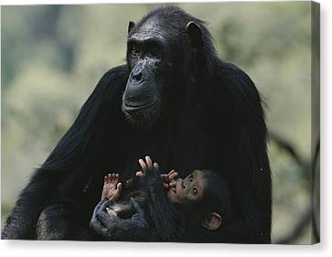 The Chimpanzee Rafiki With Her Twins Canvas Print by Michael Nichols