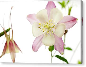 The Columbine Canvas Print by Brad Rickerby