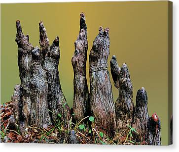 The Cypress Knees Chorus Canvas Print by Kristin Elmquist