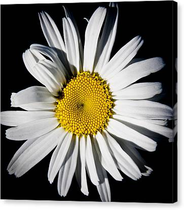 The Daisy Canvas Print by David Patterson