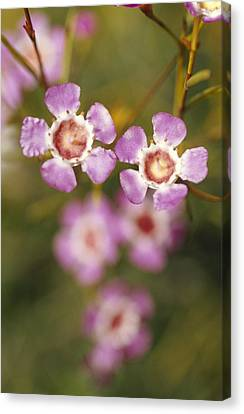 The Delicate Pink Petals Canvas Print by Jason Edwards