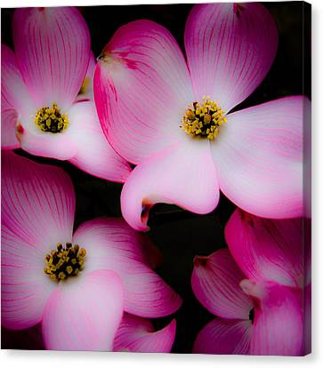 The Dogwood Flower Canvas Print by David Patterson