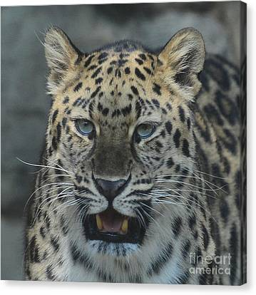 The Eyes Of A Jaguar Canvas Print by Paul Ward