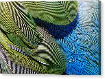 The Feathers Of A Red-winged Parrot Canvas Print by Jason Edwards