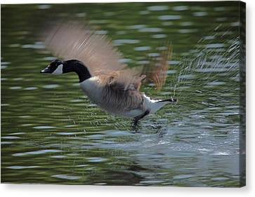 Geese Canvas Print - The Flight by Karol Livote
