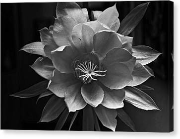 The Flower Of One Night Canvas Print by Tom Bell