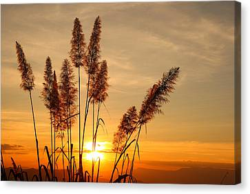 The Flowers Of Grass  On Sunset Canvas Print