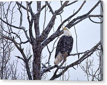 The Great American Bald Eagle Canvas Print by Gary Smith