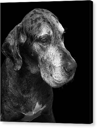 The Great Dane Canvas Print by Marc Huebner