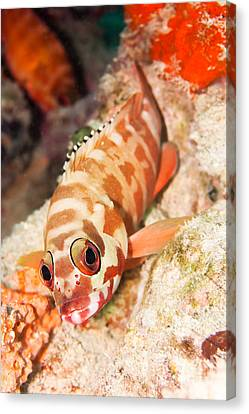The Hawkfish Canvas Print by MotHaiBaPhoto Prints