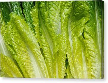 Romaine Canvas Print - The Heart Of Romaine by Andee Design