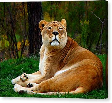 The Lioness Canvas Print by Davandra Cribbie