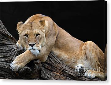 The Lioness Is Watching You Canvas Print by Eva Kaufman