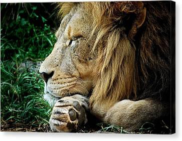 The Lions Sleeps Canvas Print