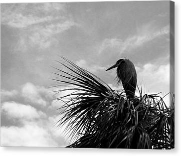 The Lonely Great Blue Heron Canvas Print