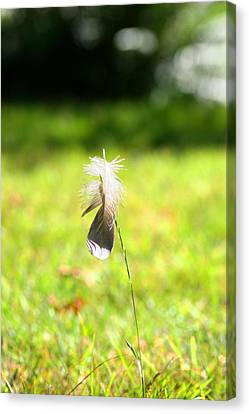 The Lost Feather Canvas Print