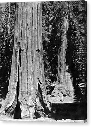 The Mariposa Grove In Yosemite Canvas Print by Underwood Archives