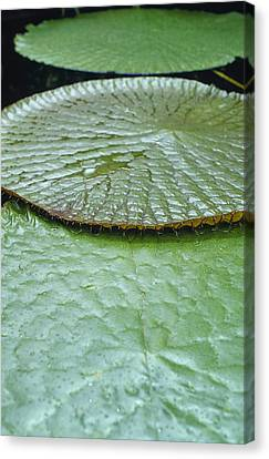 The Massive Santa Cruz Waterlily Leaves Canvas Print by Jason Edwards