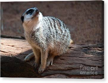 The Meercat  Canvas Print by Rob Hawkins