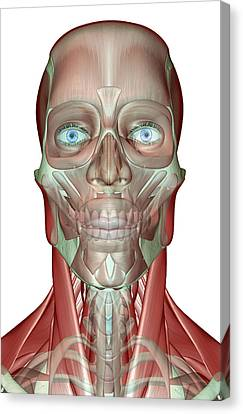 The Musculoskeleton Of The Head, Neck And Face Canvas Print by MedicalRF.com