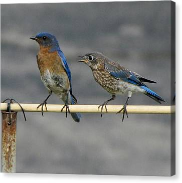 The Nagging Bluebird Canvas Print by Betty Pieper