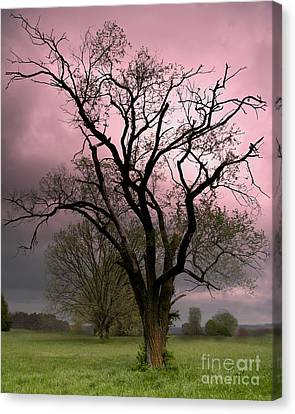 The Old Tree Canvas Print by Brian Stamm
