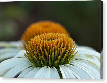 Canvas Print featuring the photograph The Pair Of Coneflowers by Monte Stevens