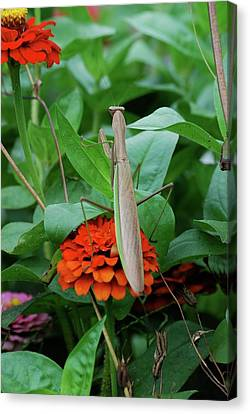 Canvas Print featuring the photograph The Patience Of A Mantis by Thomas Woolworth