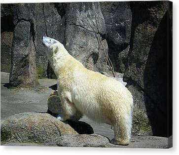 Canvas Print featuring the photograph The Polar Pose by Wendy McKennon