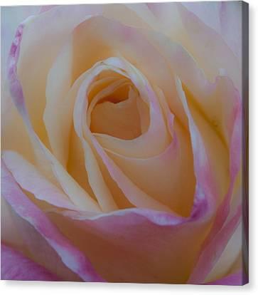 The Princess Diana Rose Canvas Print by David Patterson