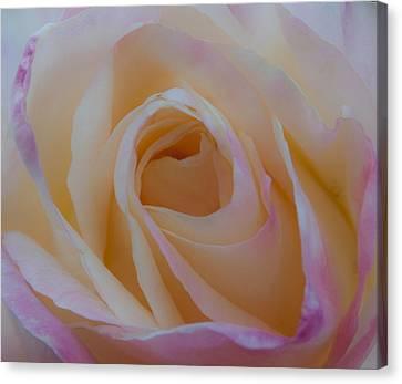 The Princess Diana Rose Iv Canvas Print by David Patterson