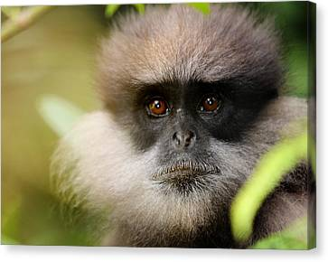 The Purple-faced Langur. Nuwara Eliya.sri Lanka Canvas Print by Jenny Rainbow