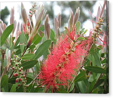 The Queen's 'ohia Lehua  Canvas Print by Ron Holiday Broomell