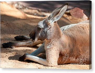 The Resting Roo Canvas Print by Rob Hawkins