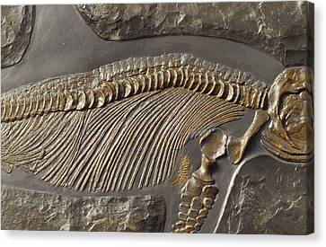 The Ribs And Spine Of Ichthyosaur Canvas Print by Jason Edwards