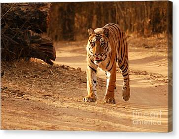 The Royal Bengal Tiger Canvas Print by Fotosas Photography