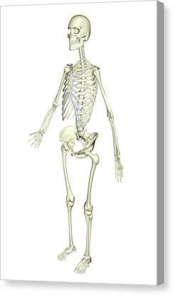 The Skeletal System Canvas Print by MedicalRF.com