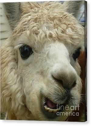 The Smiling Alpaca Canvas Print