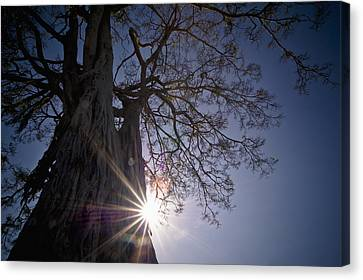 The Sunlight Shines Behind A Tree Trunk Canvas Print by David DuChemin