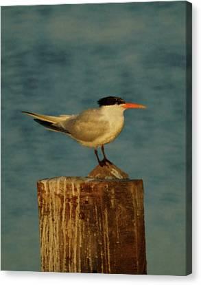 The Tern Canvas Print by Ernie Echols